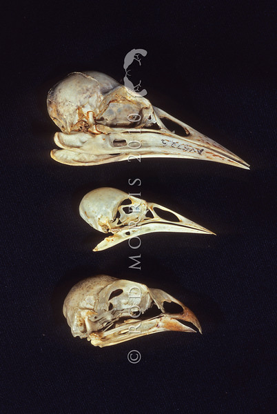 11001-88911 Huia (Heteralocha acutirostris) skull [Av5226] arranged above the skulls of saddleback (centre) and kokako (lower) for comparison. All three birds are members of the ancient NZ Wattle bird family. Canterbury Museum *