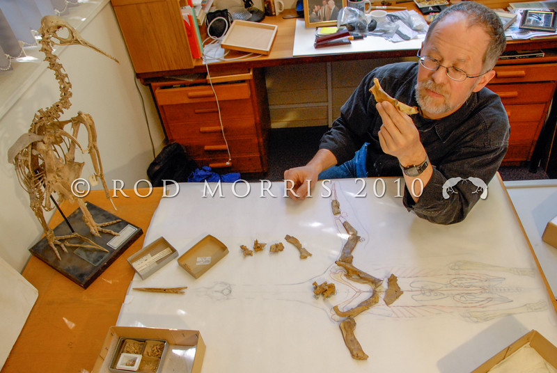 DSC_ 0241 Prof R. Ewan Fordyce examines the fossil bones of Platydyptes, an Oligocene penguin, in his rooms in the Geology Department, Otago University *