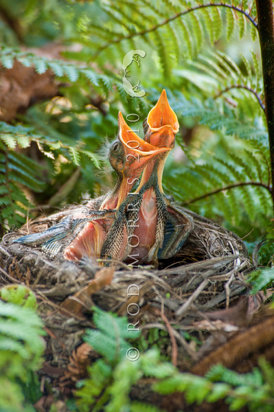 DSC_5999 Eurasian blackbird (Turdus merula merula) nestlings begging for food in nest. This highly successful introduced species is the most widely distributed bird in New Zealand, ranging from the coastline to at least 1500m a.s.l., and extending to many of our outlying sub-Antarctic islands. Otago Peninsula