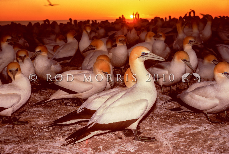 11001-31801 Australasian gannets (Morus serrator) breeding colony at dawn. Cape Kidnappers, Hawkes Bay *