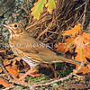 11001-79601  Song thrush (Turdus philomelos clarkei) an immature male with rufous breast and immature markings still present on wings. Found in gardens, orchards and farmland throughout the country, but scarce in native forests. New Zealand birds belong to the English subspecies.