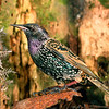 11001-86616 Common starling (Sturnus vulgaris vulgaris) adult in winter  plumage. These noisy introduced birds form spectacular vast flocks in autumn and winter evenings, as they head to their communal roosts. Oamaru *