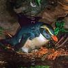 11001-29508 Fiordland crested penguin (Eudyptes pachyrhynchus) on its nest amongst ferns *