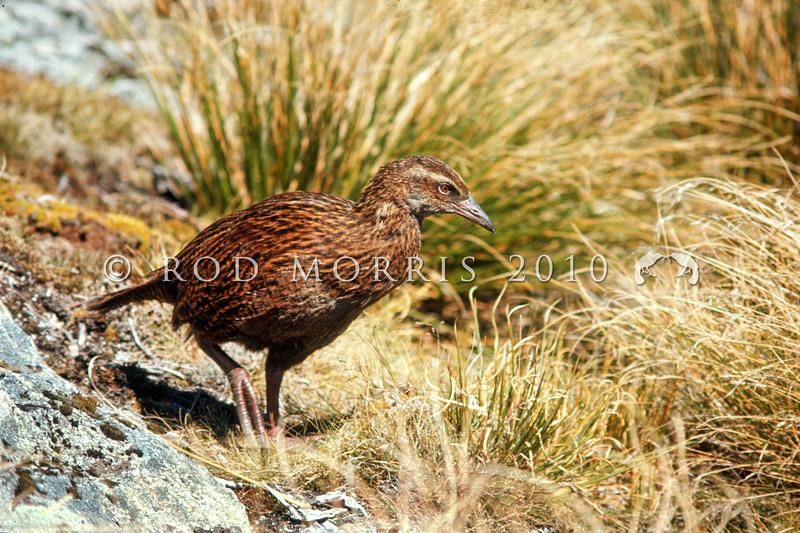 11001-48920 Western weka (Gallirallus australis australis) young adult in tussock grassland. Ettrick Burn, Murchison Mountains, Fiordland *
