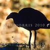 11001-50824  Pukeko (Porphyrio melanotus melanotus) adult silhouette. Western Springs, Auckland *