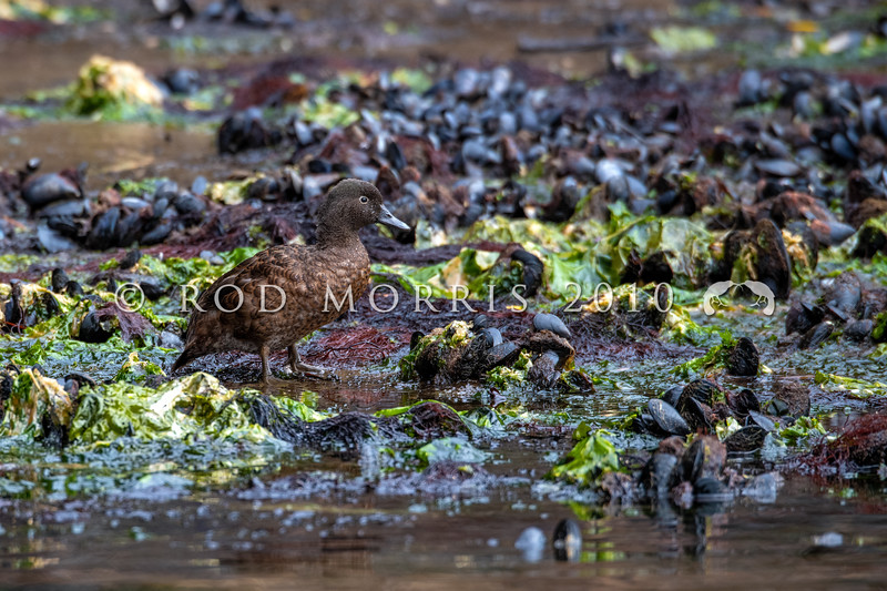 DSC_2626 Campbell Island flightless teal (Anas nesiotis) adult on shoreline amongst mussels and seaweed at low tide. Garden Cove, Perseverance Harbour, Campbell Island *