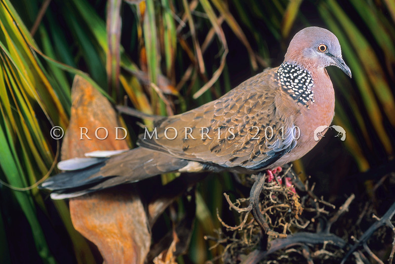 11001-70101 Spotted dove (Streptopelia chinensis tigrina) common cage bird which escaped in the 1920's and is now firmly established in greater Auckland, Whangarei and Bay of Plenty *