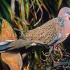 11001-70101 Spotted dove (Streptopelia chinensis tigrina) common cage bird which escaped in the 1920's and is now firmly established in greater Auckland, Whangarei and Bay of Plenty