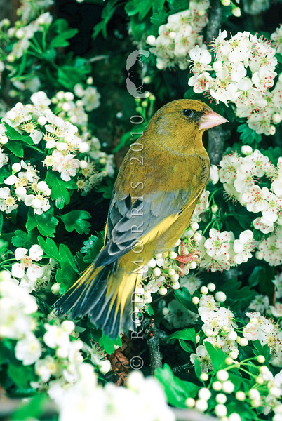11001-85501  European greenfinch (Carduelis chloris) male in flowering hawthorn hedgerow. One of the commonest birds in the New Zealand countryside. Otago Peninsula.