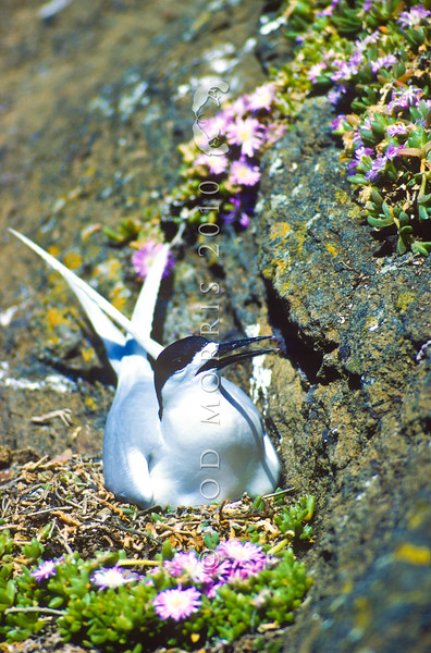 11001-65701 White-fronted tern (Sterna striata) male on nest in Disphyma on Little Mangere Island, Chathams Group *