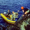 11001-82112 Black robin, or kakaruia (Petroica traversi) during the black robin transfers of September 1976, Dick Veitch passes the robin transfer crate (in a small wooden box strapped to his pack) to Don Merton who has climbed into the rubber inflatable.  Boat-handler Rodney Russ holds the boat in position at the foot of the cliffs of Little Mangere *