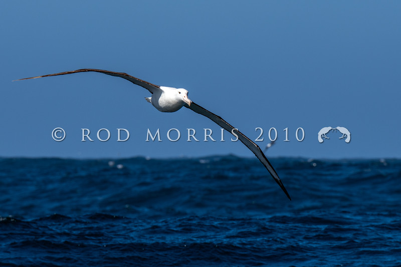 DSC_2976 Northern Royal albatross (Diomedea sanfordi) adult soaring over the southern ocean, south east of Pyramid Rock, Chatham Islands *