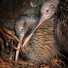 11001-02121  Eastern brown kiwi (Apteryx mantelli) pair roosting in burrow *