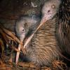 11001-02121  Eastern brown kiwi (Apteryx mantelli) pair roosting in burrow