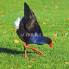11001-51004  Pukeko (Porphyrio melanotus melanotus) submissive 'bowing' display. Western Springs, Auckland *