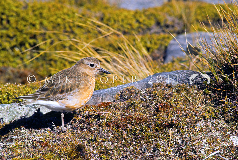 11001-54012 Southern NZ dotterel (Charadrius obscurus obscurus) female near nest on the 'tops' above Port Pegasus. Once widespread in the South Island, it now breeds only on Stewart Island where less than 200 birds remain *