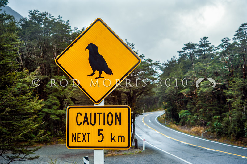 DSC_2107 Kea or mountain parrot (Nestor notabilis) because of a number of kea deaths on the main highway, there are now caution signs warning tourists to look out for kea standing on the road as drivers travel along the main highway passing through Arthur's Pass *