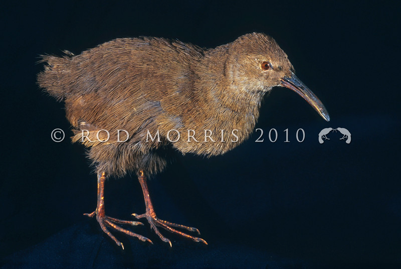 11001-48210 Chatham Island rail (Caballus modestus) extinct. The male shown here, had a significantly longer bill than the female. This was the smallest of three species of rails once found on the Chathams, all of which had long down curved bills *