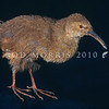 11001-48210 Chatham Island rail (Caballus modestus) extinct. The male shown here, had a significantly longer bill than the female. This was the smallest of three species of rails once found on the Chathams, all of which had long down curved bills