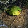 11001-70309 Kakapo (Strigops habroptilus) Fiordland male 'Butterburr' booming from his main bowl after dark. Sinbad Gully, Fiordland *