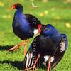 11001-51010  Pukeko (Porphyrio melanotus melanotus)  female 'solicitting' a passing male. western Springs, Auckland *