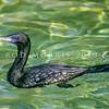 11001-34001  Little black shag (Phalacrocorax sulcirostris) adult swimming