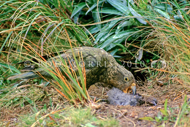 11001-72519 Kea or mountain parrot (Nestor notabilis) young bird eating a Hutton's shearwater chick it has killed