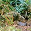 11001-72519 Kea or mountain parrot (Nestor notabilis) young bird eating a Hutton's shearwater chick it has killed. Upper Kowhai Stream, Seaward Kaikoura Range *