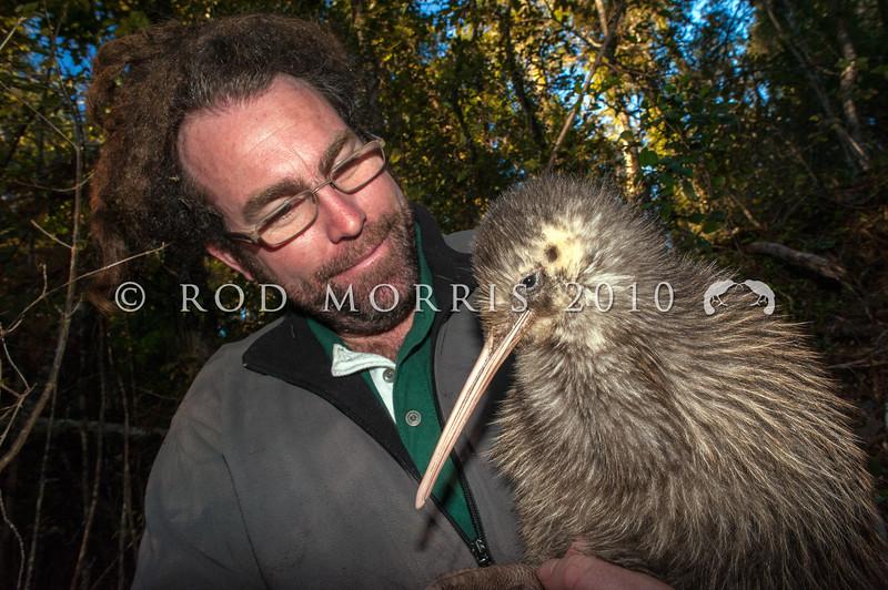 DSC_1173  Okarito brown kiwi, or rowi (Apteryx rowi) DoC officer Duncan Kay with bird with white markings on head *