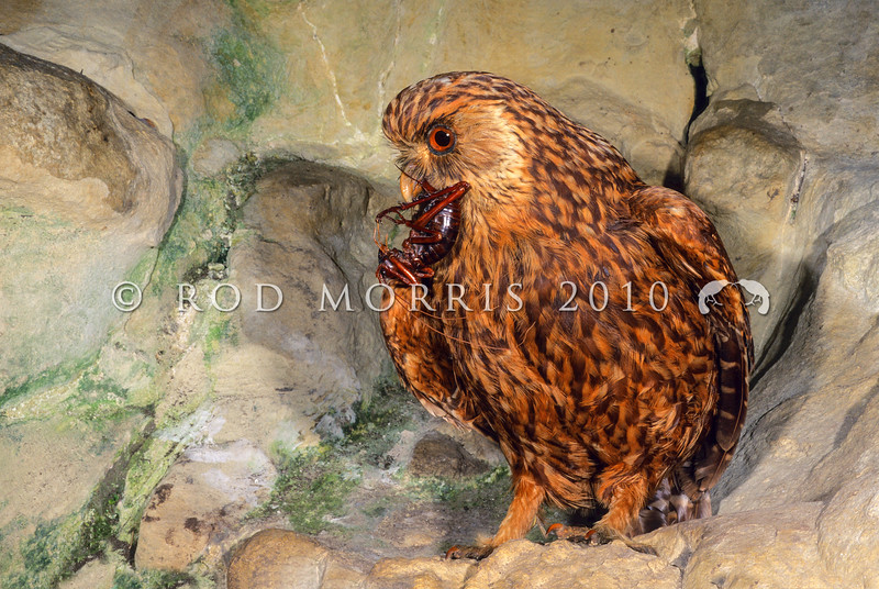 11001-76513  South Island laughing owl (Ninox albifacies) museum mount. Probably extinct before 1892 in much of the North Island, and gone by about 1930 in the South Island. Although it coexisted with early European settlement, mustelids and cats probably brought about its demise.