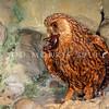 11001-76513  North Island laughing owl (Sceloglaux albifacies rufifacies) museum mount. Extinct before 1892