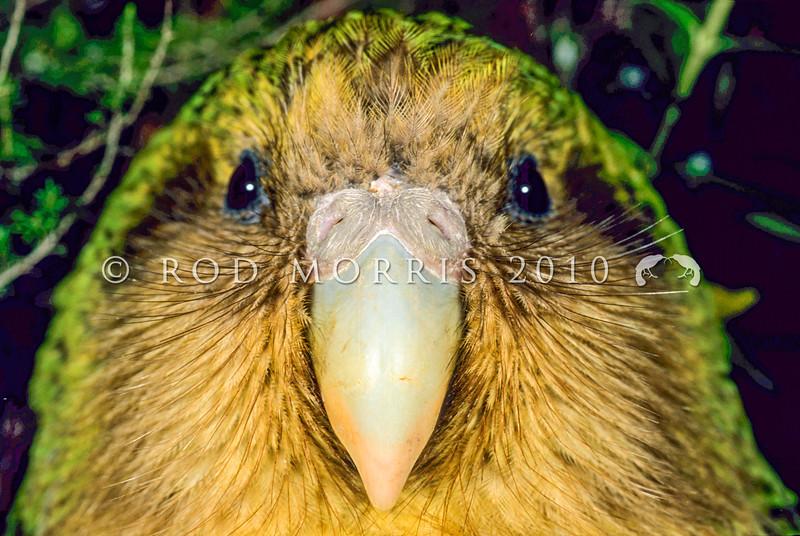 11001-70712 Kakapo (Strigops habroptilus) a close-up of 'Sinbad's whiskery face. Maud Island August 1999