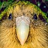 11001-70712 Kakapo (Strigops habroptilus) a close-up of 'Sinbad's whiskery face. Maud Island August 1999
