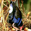 11001-50818  Pukeko (Porphyrio melanotus melanotus) female settling on eggs in nest. Western Springs, Auckland *
