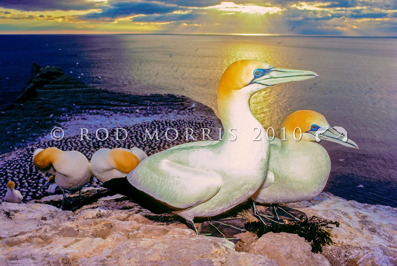 11001-31908  Australasian gannet  (Morus serrator) pair in colony at sunrise. Cape Kidnappers, Hawkes Bay *