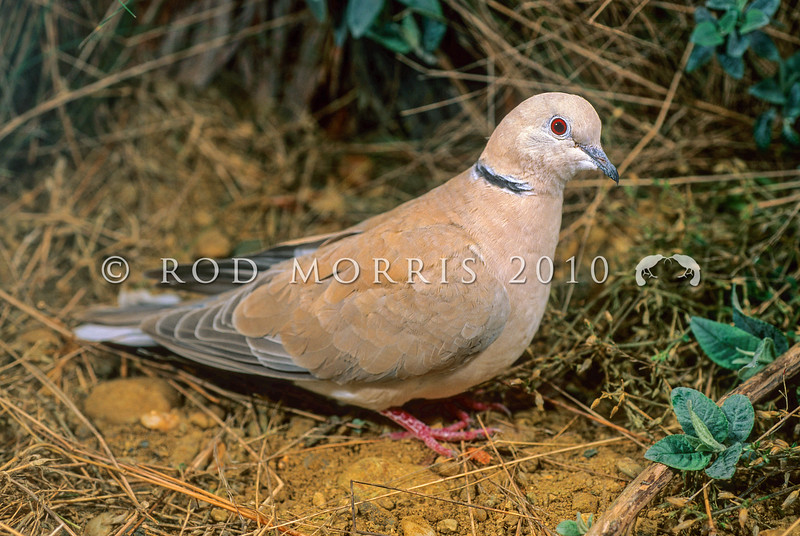 11001-70005 Barbary dove (Streptopelia risoria) male foraging on ground. Originally from Arabian Peninsula, feral populations now in isolated areas such as around Kerikeri, Auckland and Hawkes Bay *