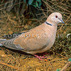 11001-70005 Barbary dove (Streptopelia risoria) male foraging on ground. Originally from Arabian Peninsula, feral populations now in isolated areas such as around Kerikeri, Auckland and Hawkes Bay