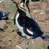 11001-30418 Erect-crested penguin (Eudyptes sclateri) pair preening at nest on the Antipodes Islands *