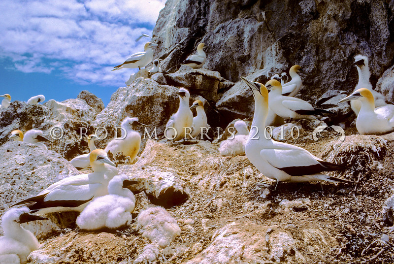 11001-31715 Australasian gannets (Morus serrator) breeding colony with adults and chicks. Cape Kidnappers, Hawkes Bay *