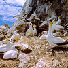 11001-31715 Australasian gannets (Morus serrator) breeding colony with adults and chicks