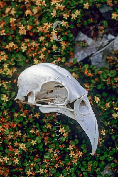 11001-72413 Kea or mountain parrot (Nestor notabilis) skull. Arthurs Pass *
