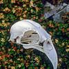 11001-72109 Kea or mountain parrot (Nestor notabilis) skull