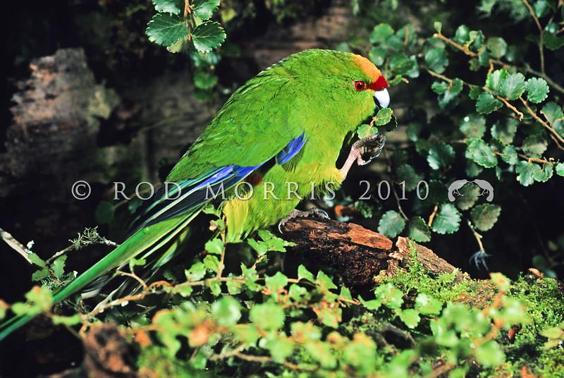 11001-74703 Yellow-crowned parakeet (Cyanoramphus auriceps) male feeding on silver beech (Nothofagus menziesii)