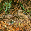 11001-42803 Mallard (Anas platyrhynchus platyrhynchus) female on nest in hedgerow. Introduced from both England and North America, now the most widespread and numerous waterfowl in NZ. Broad Bay, Otago Peninsula *