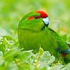 DSC_0224 Red-crowned parakeet (Cyanoramphus novaezelandiae novaezelandiae) male foraging on grassy sward. Enderby Island * 6/18