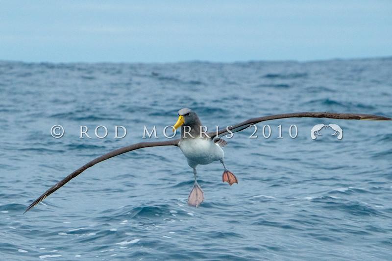 DSC_3716 Chatham Island albatross (Thalassarche eremita)  adult landing at sea  near Pyramid Rock, Chatham Islands *