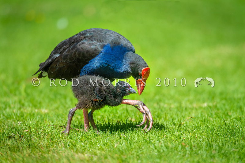 DSC_4872  Pukeko (Porphyrio melanotus melanotus) adult female with chick. Virginia Lake, Whanganui *