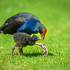 DSC_4872  Pukeko (Porphyrio melanotus melanotus) adult female with chick. Virginia Lake, Whanganui *