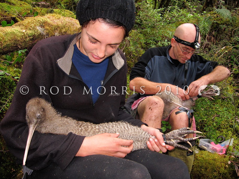 IMG_0376 Great spotted kiwi (Apteryx haastii) kiwi handler Nic Menary, assisted by Rachel Anson, change two transmitters on a pair of wild kiwi on a forested ridge above Arthurs Pass township. Arthurs Pass National Park *