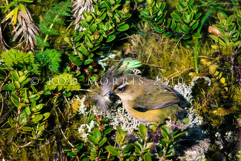 11001-77912  Rock wren (Xenicus gilviventris) female carrying kakapo feather outside nest hole in bank beneath Scarlet snowberry (Gaultheria crassa) January, 1978 Tutoko High Bench, Fiordland *